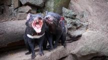 Tasmanian Devil UNZOO Entry and Tour