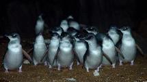 Low Head Penguin Tour ex. Launceston