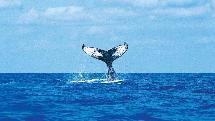 Whale Watching Tour - Noosa Thriller Ocean Adventure