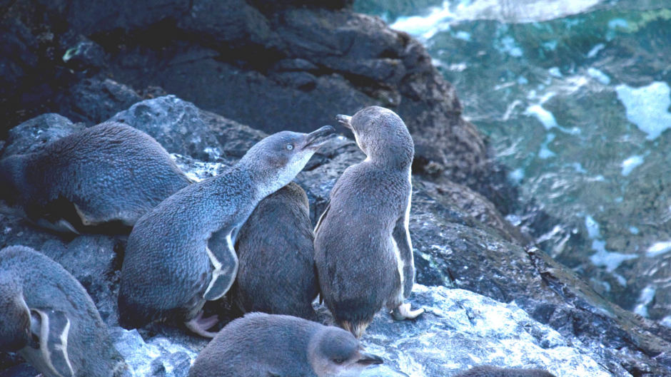 Discover the magical world of wild penguins in their natural habitat on the Evening Penguin Tour...