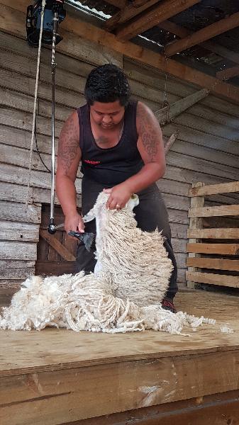 Sheep being shawn