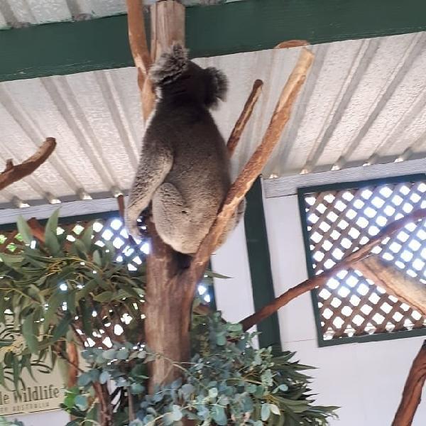 Pooped Koala